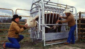 Определение беременности у коровы