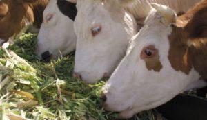 Рацион коровы