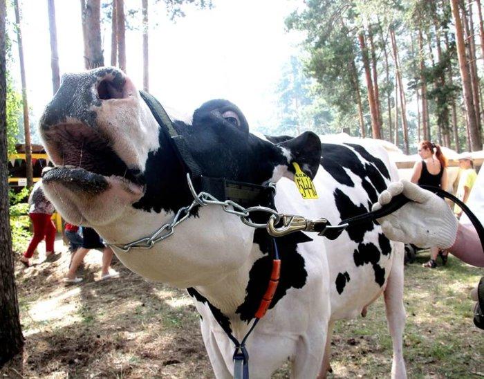 Симптомы ящура у коров