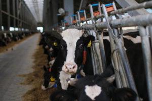 Когда корова даст первое молоко