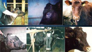 Симптомы катаральной горячки у коровы