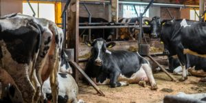 Субинволюция матки у коровы