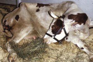 Генитальный вид ринотрахеита у коров