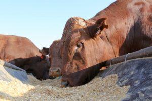 Особенности рациона для быка-осеменителя