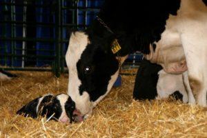 Советы по уходу за отелившейся коровой