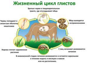 Жизненный цикл глистов у коров