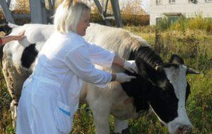 Диагностические мероприятия у коров