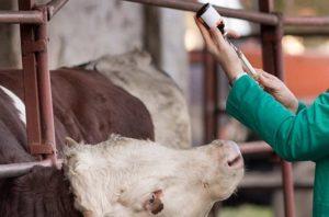 Лечение завала у коровы
