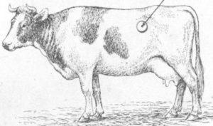 Тимпания у коровы