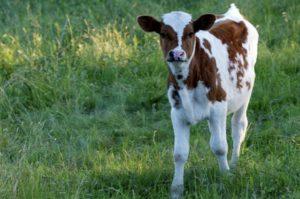 Правильное содержание теленка
