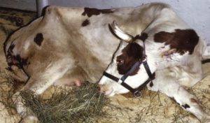 Абсцесс у коровы