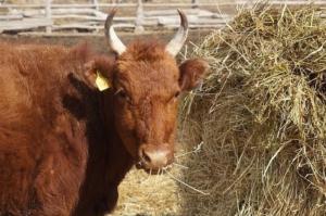 Нодулярный дерматит у крупнорогатого скота