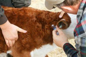 Диагностика лептоспироза у коров