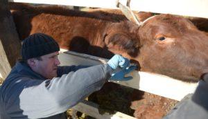 Осмотр коровы