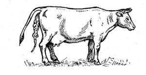 Задержание последа у коровы
