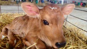 Почему закупоривается пищевод у теленка
