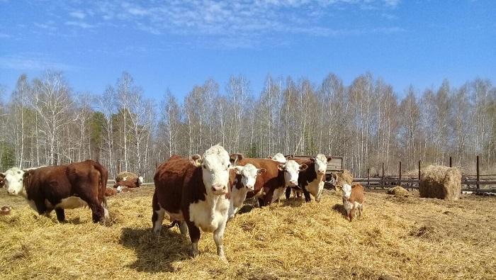 Коровы герефорд