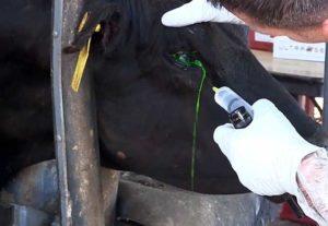 Лечение телязиоза у коров