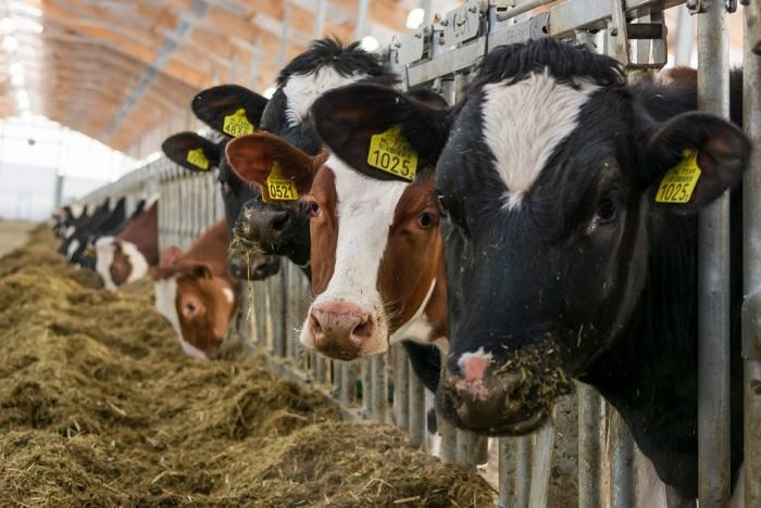 Коровы на ферме кушают сено