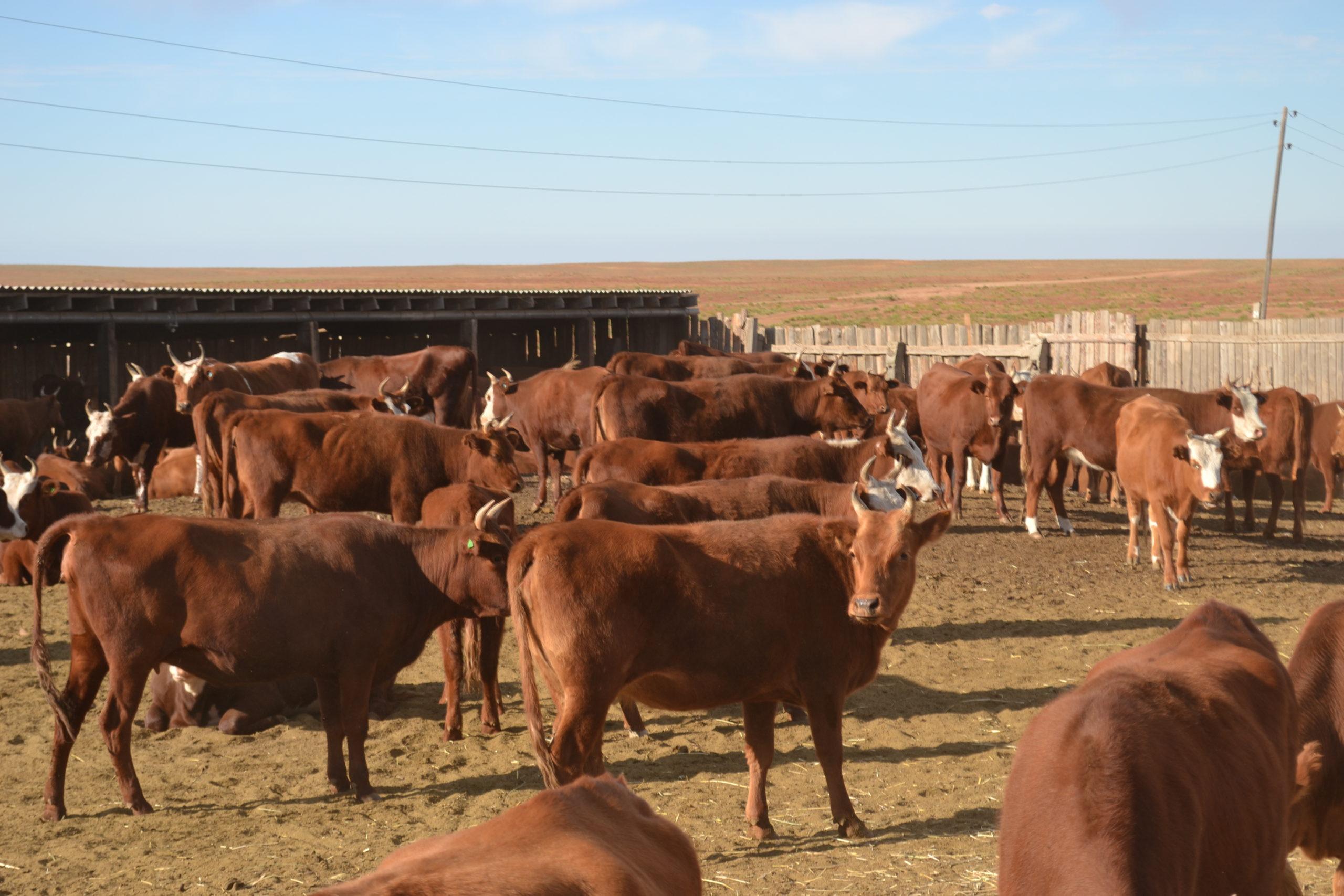 Разведение калмыцких коров