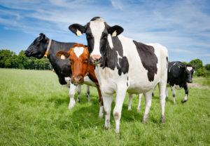Факторы, влияющие на плотность молока