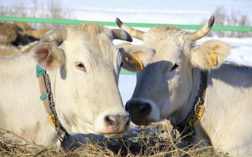 Две коровы