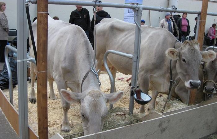 Корова кушает в стойле