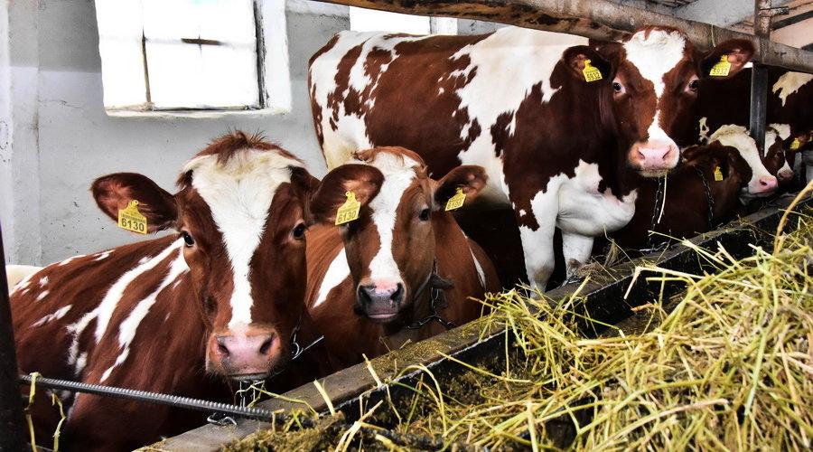 Коровы едят сено
