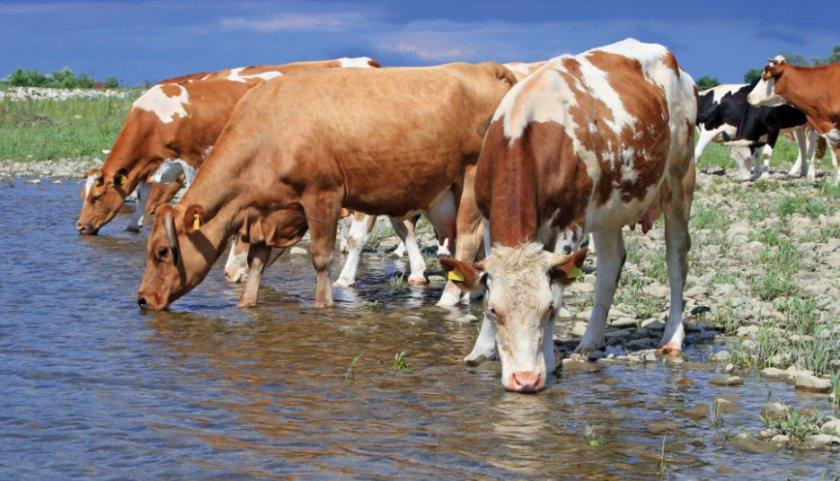 Коровы пьют воду
