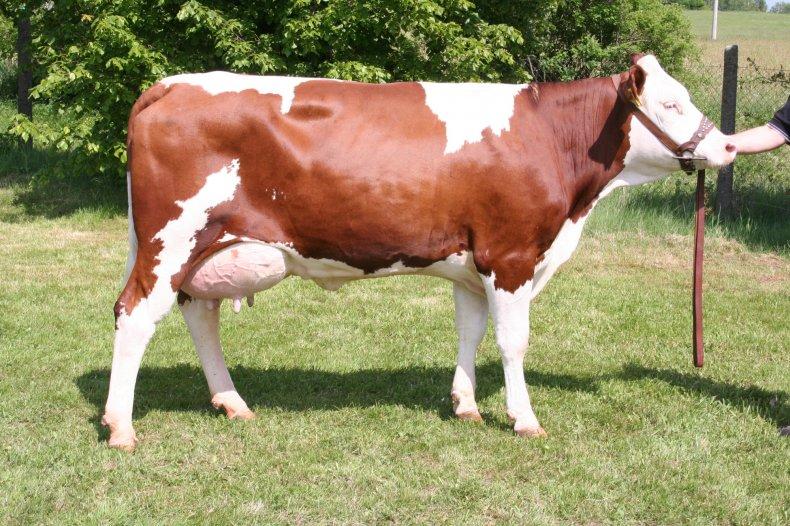 Красно-пестрая корова