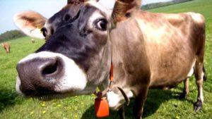 Почему пропало молоко у коровы