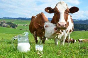 Повышение удоя молока у коровы