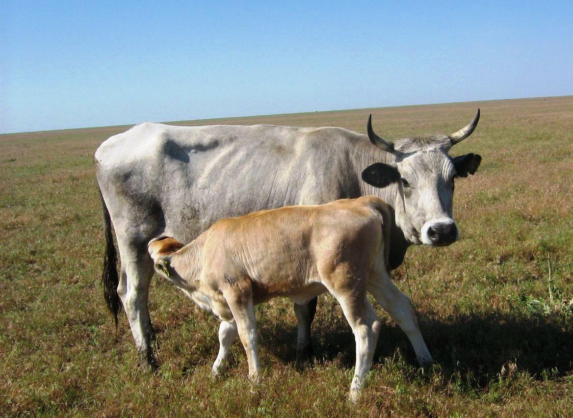 Серая украинская корова