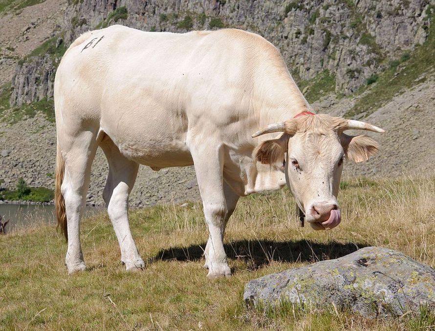 Аквитанская светлая корова