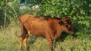 Особенности дерматита у коров