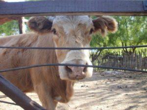 Причины коровьей оспы