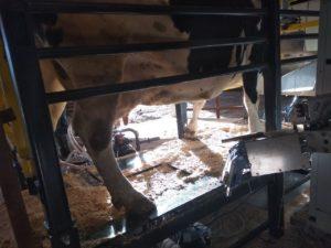 Терапевтические действия по запуску желудка у коровы