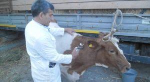 Диагностика дерматита у коров