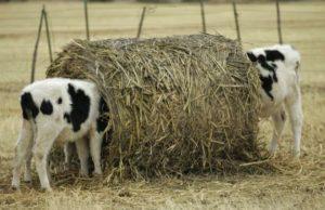 Разновидности засорения пищевода у коров
