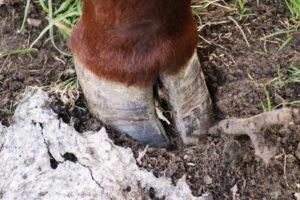 Копыта коровы: особенности строения, частые заболевания