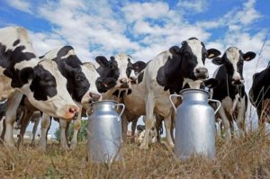 Молозиво коровы: состав, основная польза