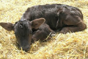 Развития гипоксии у теленка