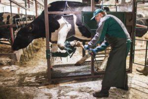 Особенности лечения копыт у коров