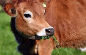 Глаза коровы: особенности строения