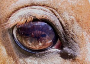 Глаз коровы
