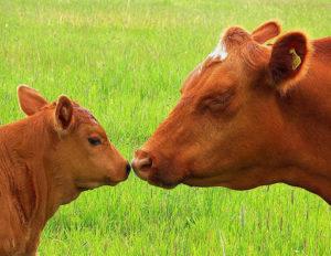 Основные способы запуска коровы перед началом отела