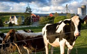 Нагул коров