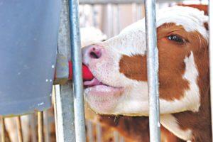 Как отучить от молока теленка