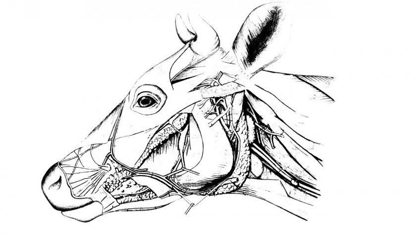 Строение скелета коровы - Znajfermu