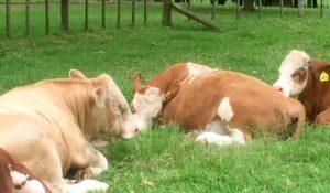 Как иерархия в стаде коровы влияет на отдых?
